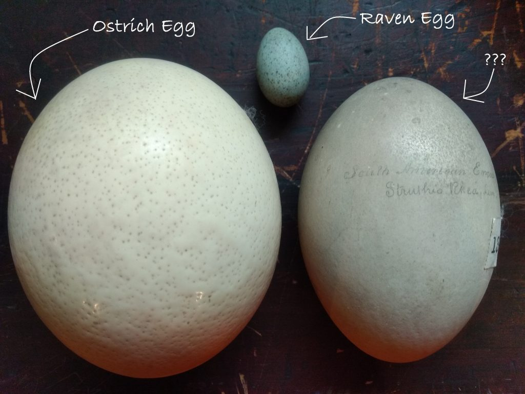 The picture shows very large ostrich egg, a slightly smaller emu egg and by comparison, a very small slightly blue tinged raven egg!