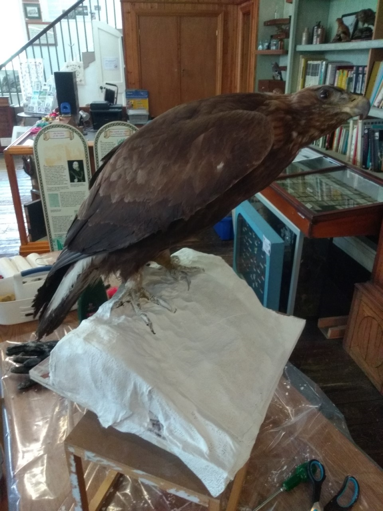 A taxidermy golden eagle from the World Wildlife Gallery at Kendal Museum. You can see it is being repaired as there are tools next to it.
